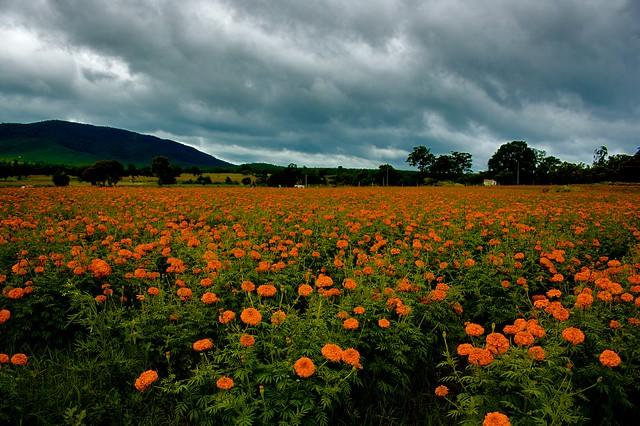 Marigold field, Bali, Indonesia