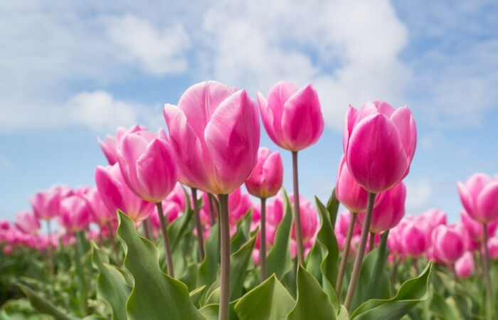 pink dutch tulips