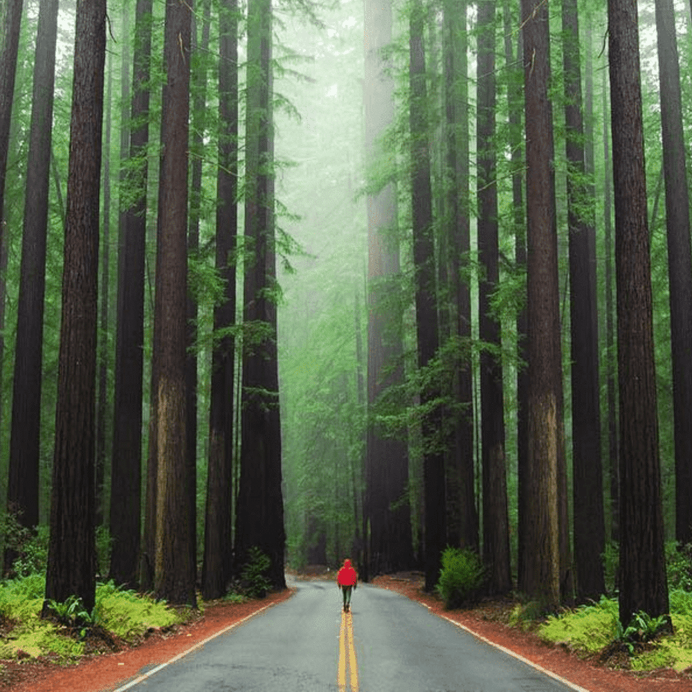 avenue of the giants- redwoods