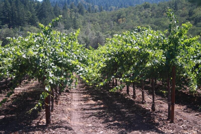 Vineyard in Napa Valley