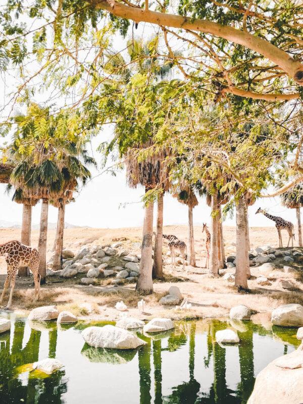 Giraffes at The Living Desert Zoo and Gardens