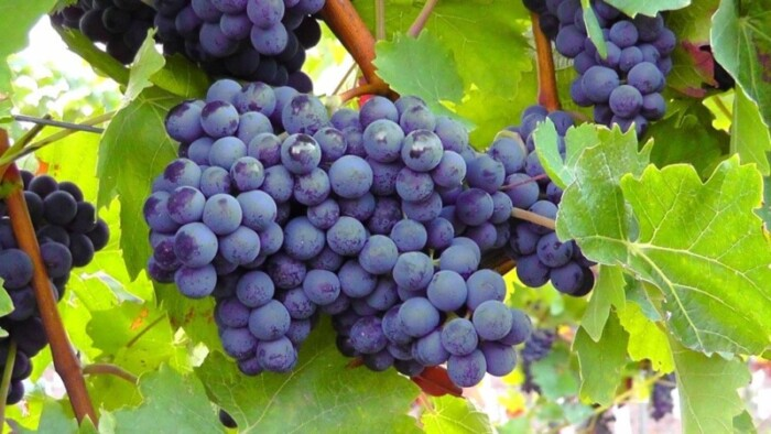 Temecula wineries grow a variety of grape types.