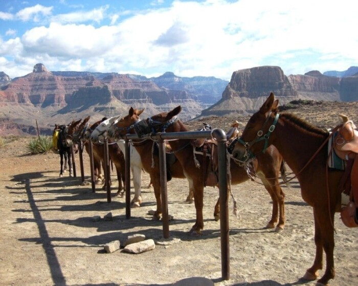 Mules for guided South Rim tours.