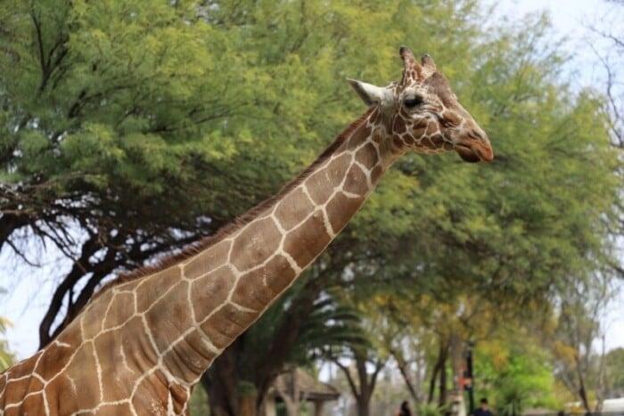Giraffe by a big leafy tree.