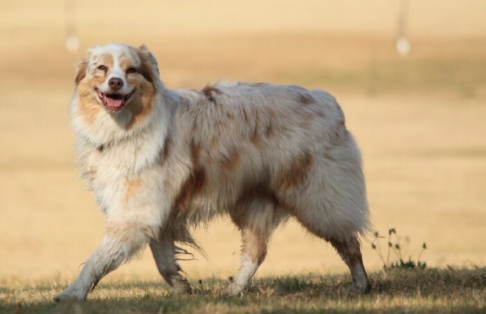 Smiling Australian Shepard white with liver spots walking outside.