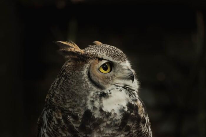 burrowing owl at zoo