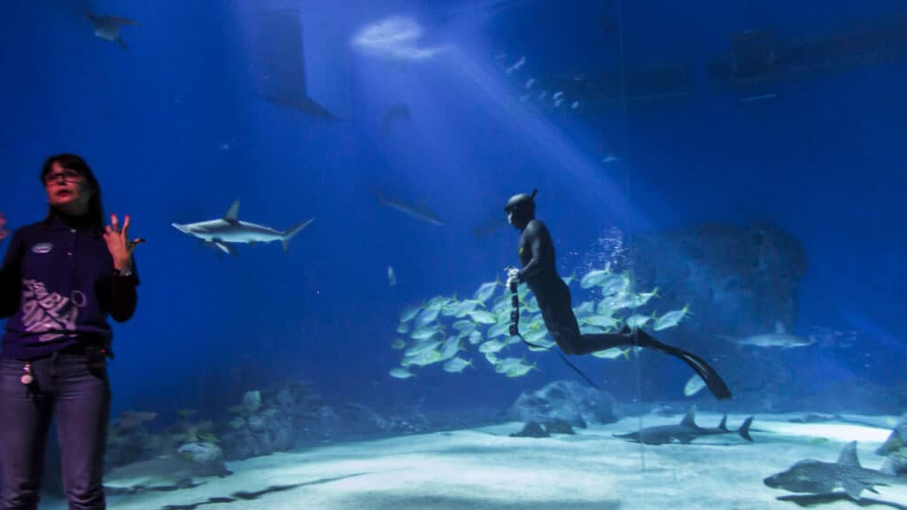 Diver feeds sharks and other fish in tank at aquarium while a woman lectures.