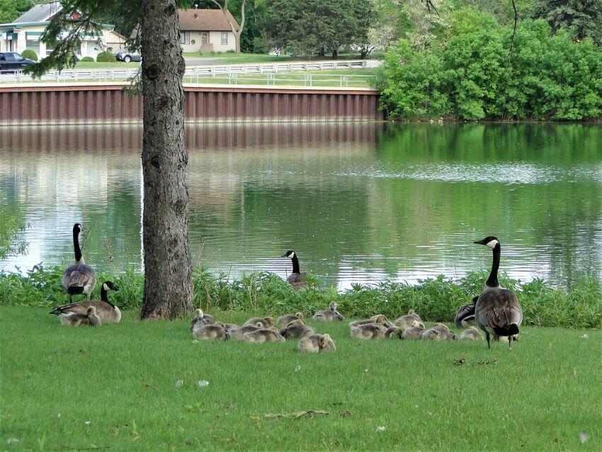Wildlife in Adams Park, Fergus Falls, Minnesota