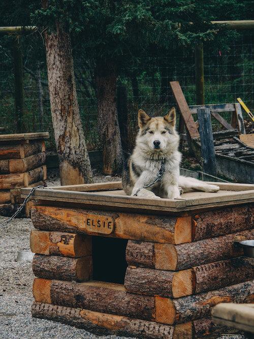 Denali National Park Sled Dogs