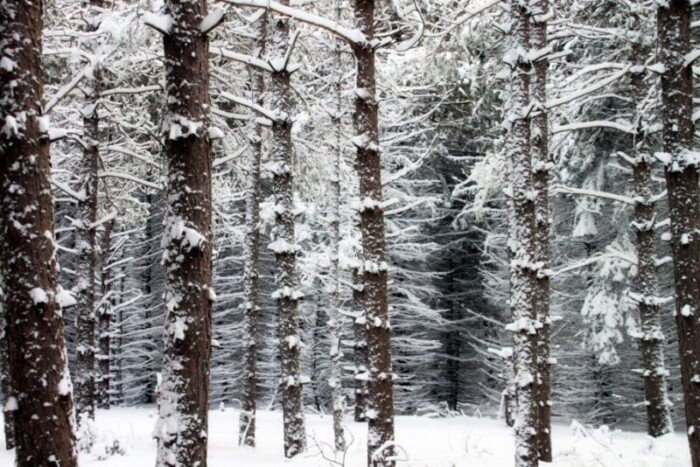pine-forest-turned-into-a-winter-wonderland-after