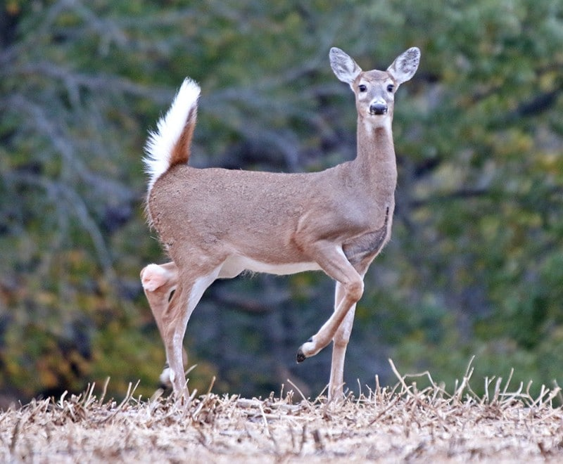 Whitetale Deer