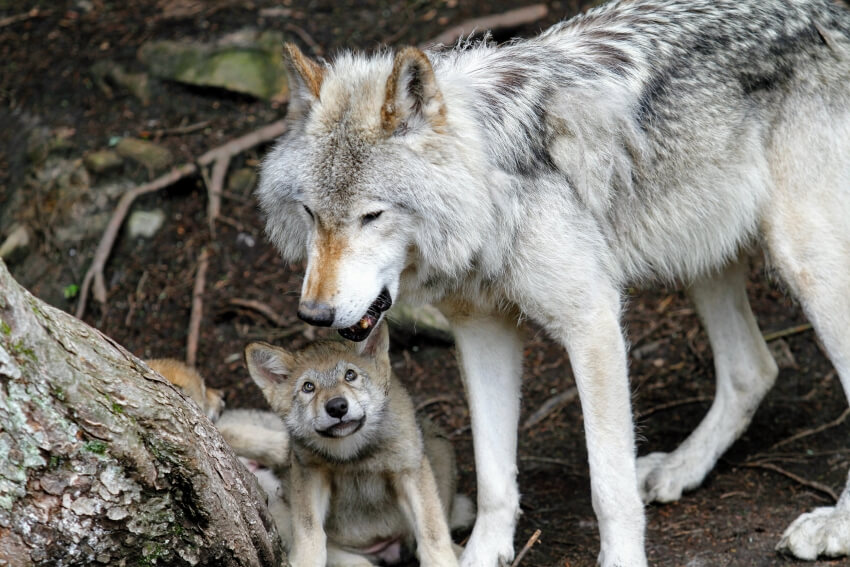 Father and Child Wolf